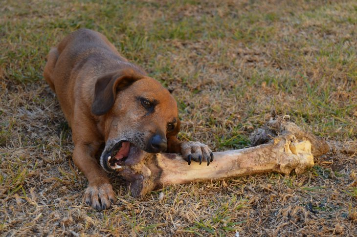 dog large bone