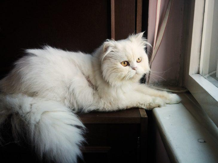 persian cat sun bathing